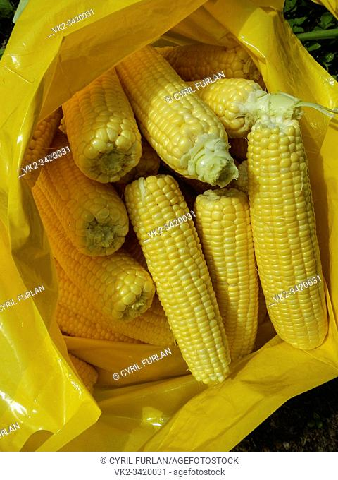 Freshly harvested and husked sweet corn