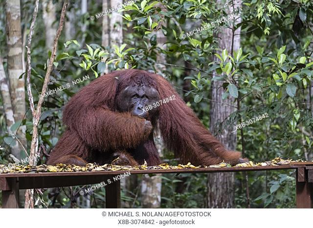 Male Bornean orangutan, Pongo pygmaeus, at Camp Leakey feeding platform, Borneo, Indonesia