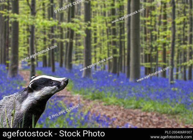 European badger (Meles meles) foraging in beech forest with bluebells (Endymion nonscriptus) in flower in spring. Digital composite