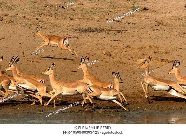 Impala Aepyceros melampus herd at waterhole, running away from predator, South Luangwa N P , Zambia
