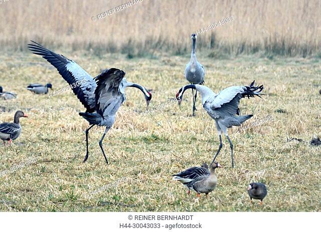 Real cranes, grey cranes, Grus grus, crane, cranes, crane's birds, crane's train, Mecklenburg-West Pomerania, Mecklenburg lowland plain full of lakes