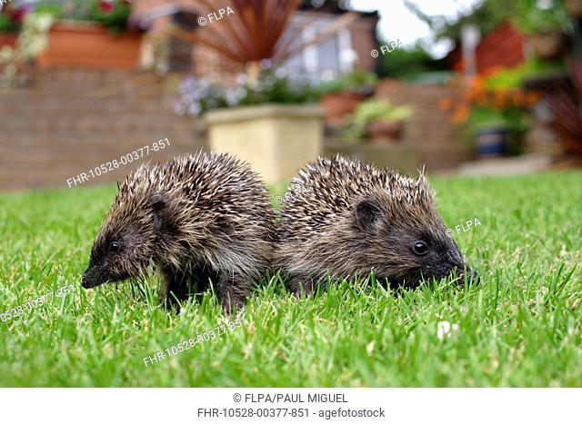 European Hedgehog Erinaceus europaeus two young, standing on garden lawn, Yorkshire, England, august