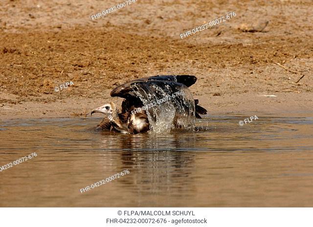 Hooded Vulture Necrosyrtes monachus adult, bathing, Chobe River, Botswana