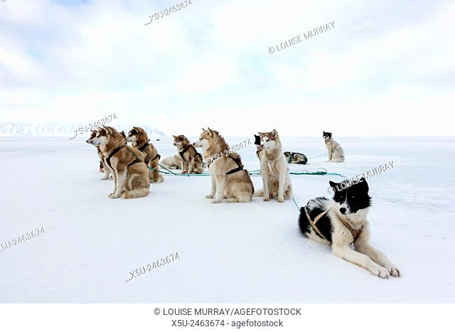 Greenlandic husky dog team staked to the ice near the floe edge in midnight sun
