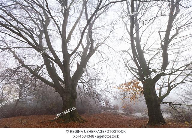 Beech Tree Fagus sylvatica, Two Mature Trees in Autumn Mist, Hessen, Germany