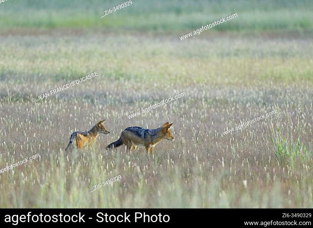 Black-backed jackals (Canis mesomelas), adult with young, standing in the high grass, early morning, Kgalagadi Transfrontier Park, Northern Cape, South Africa