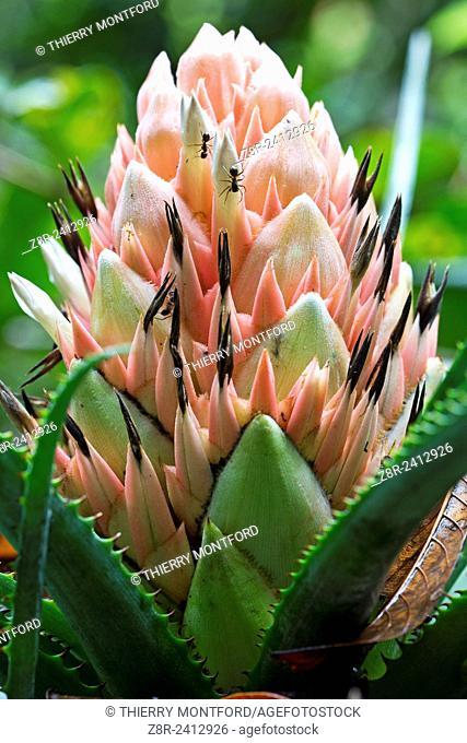 Aechmea longifolia. Bromeliad flower in the forest near a pond.Kaw Mountain. French Guiana