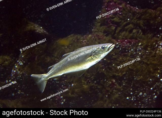 Atlantic pollock / European pollock / Atlantic pollack / European pollack (Pollachius pollachius / Gadus pollachius) swimming underwater