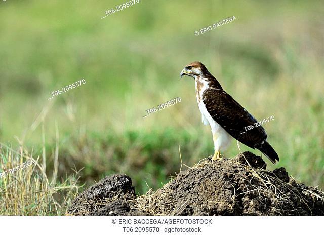 Martial eagle (Polemaetus bellicosus) Masai Mara National Reserve, Kenya, Africa, October