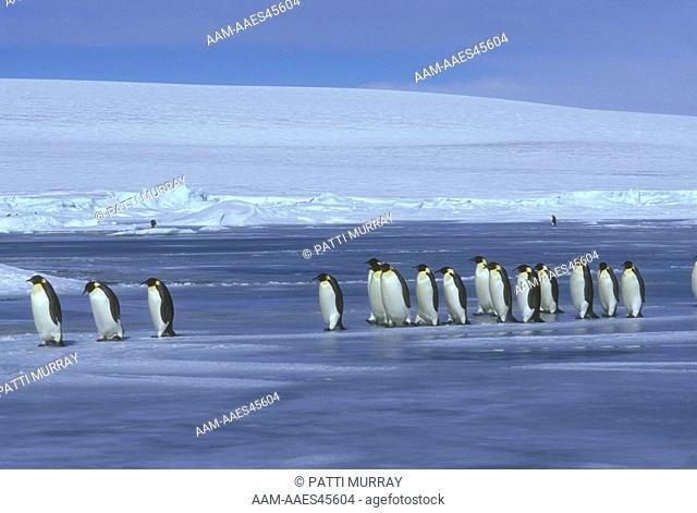 Emperor Penguins crossing Ice (Aptenodytes forsteri) Snow Hill I., Antarctica