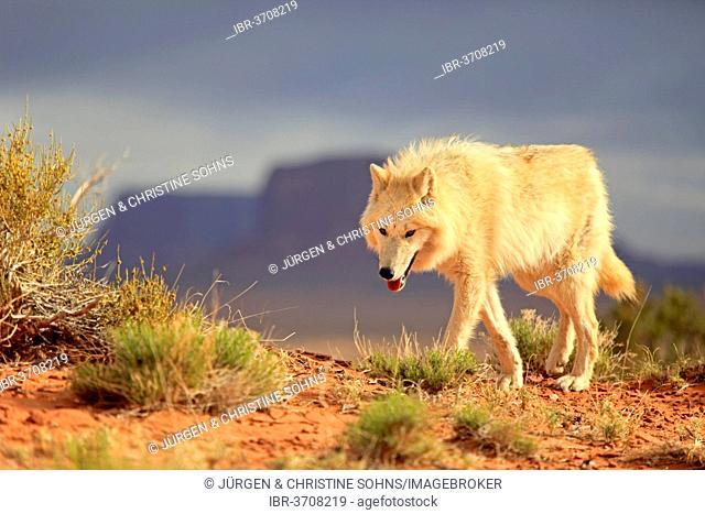 Wolf (Canis lupus), adult, captive, Monument Valley, Utah, United States