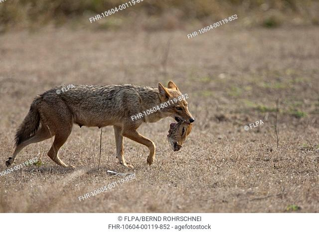 Golden Jackal Canis aureus adult, feeding, carrying head of dead Spotted Deer Axis axis, Kanha N P , Madhya Pradesh, India