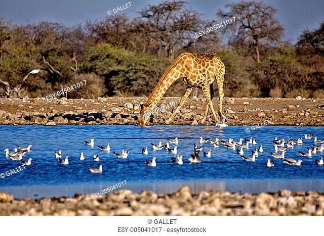 a giraffe drinking water in a waterhole at etosha national park namibia