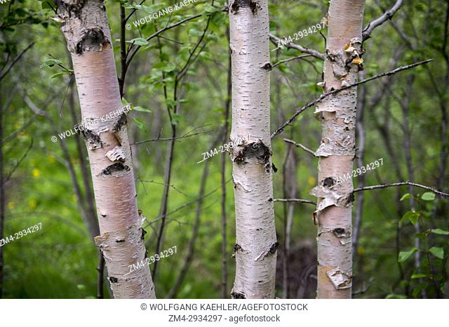 Close-up of birch trees inside a small forest (rare in Iceland) at Hofdi at Lake Myvatn in Northeast Iceland
