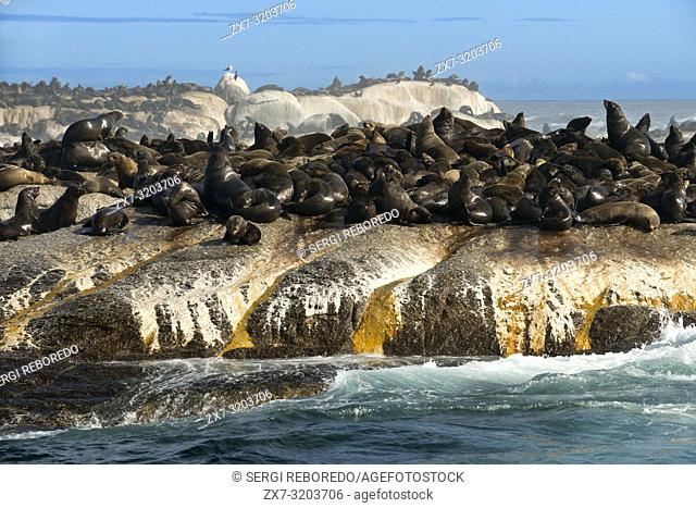 Colony of Cape Fur Seals on duiker Island, Hout Bay, Cape Town, South Africa