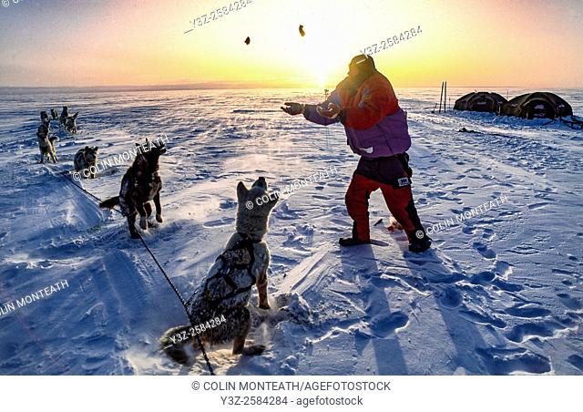 Expedition dog handler throws chunks of sea meat to the huskies during crossing Greenland icecap