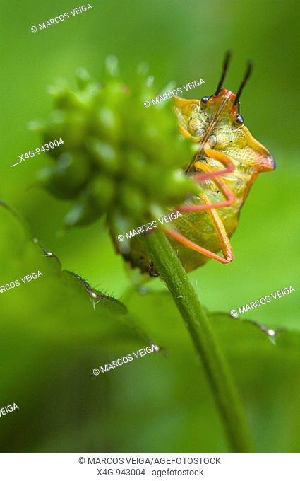 Chinche de escudo mediterránea  Red shield bug  Carpocoris mediterraneus  Pontevedra, España