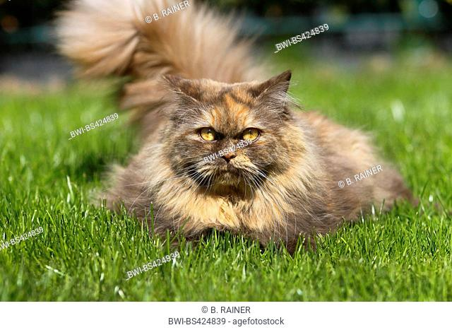 British Longhair, Highlander, Lowlander (Felis silvestris f. catus), three years old cat in colour chocolate tortie lying in a meadow, front view