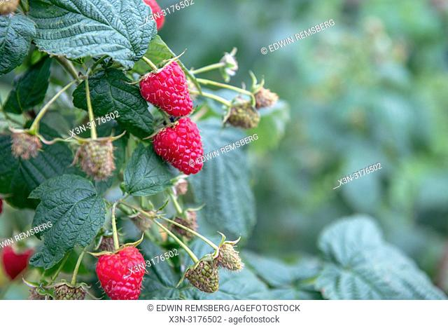 "Close-up of ripe raspberries (Rubus idaeus) growing on vine of plant, ZwoleŠ"", Masovian Voivodeship, Poland"