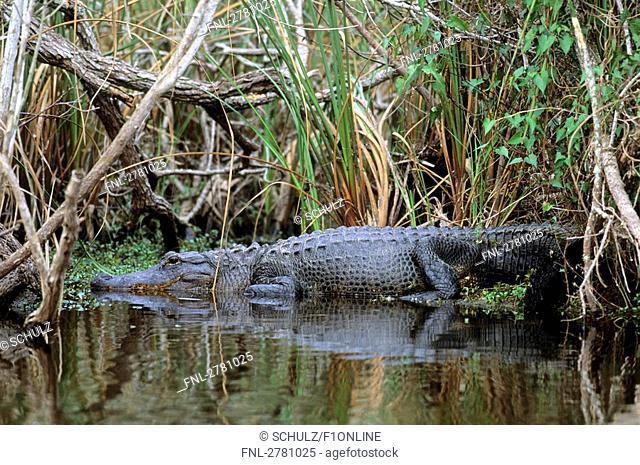 American Alligator Alligator mississippiensis in water, Everglades National Park, Florida, USA