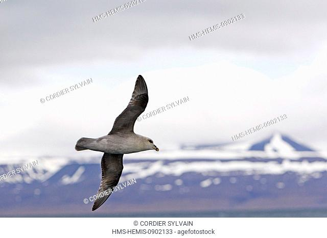 Norway, Svalbard, Spitsbergern, Northern Fulmar or Arctic Fulmar (Fulmarus glacialis) in flight