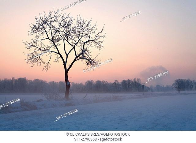Torre Pallavicina, Oglio north park, Lombardy, Italy. A solitary tree into the Bergamo's lowland at the winter sunrise