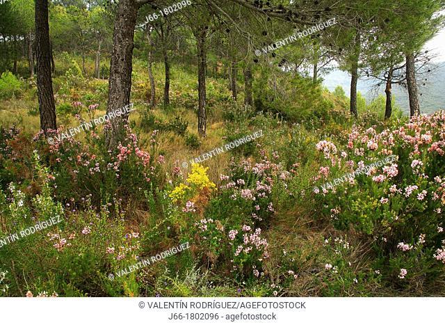 Pine forest Pinus halepensis in the Natural Park Sierra Calderona  Valencia