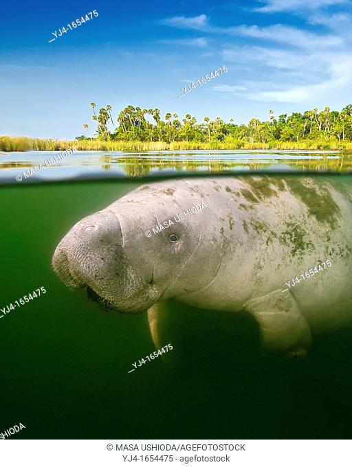 Florida manatee, Trichechus manatus latirostris, calf and marshland, over-under picture, endangered subspecies of the West Indian manatee, Kings Bay