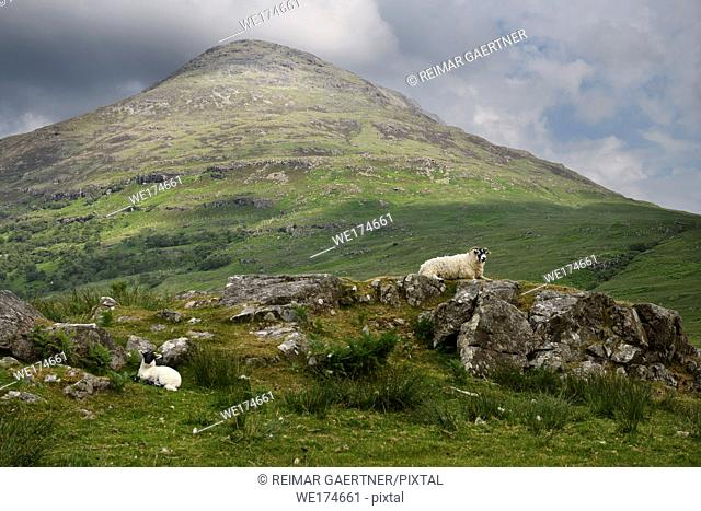 Scottish Blackface sheep mother and lamb at Scarsdale river with sunlit Beinn a Ghraig mountain on Isle of Mull Inner Hebrides Scotland UK