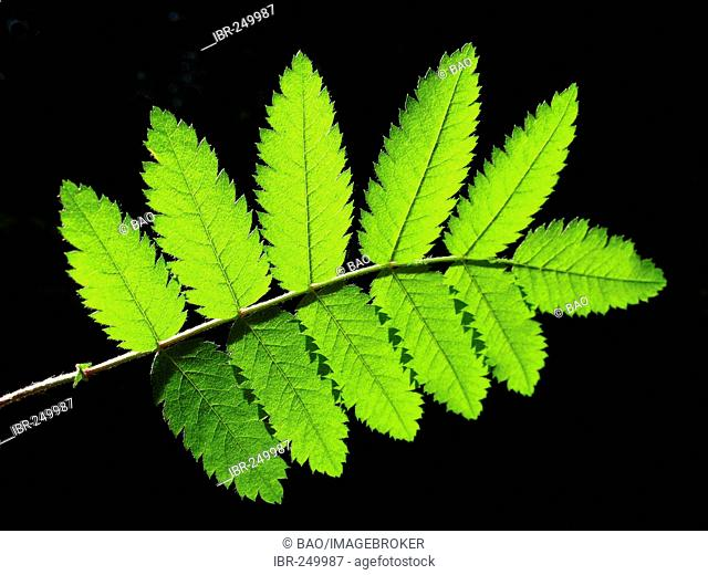 Leaf of mountan ash (Sorbus aucuparia)