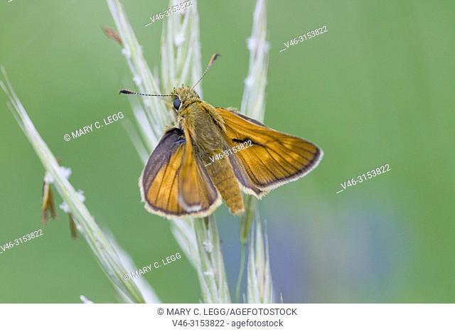 Lulworth Skipper, Thymelicus acteon