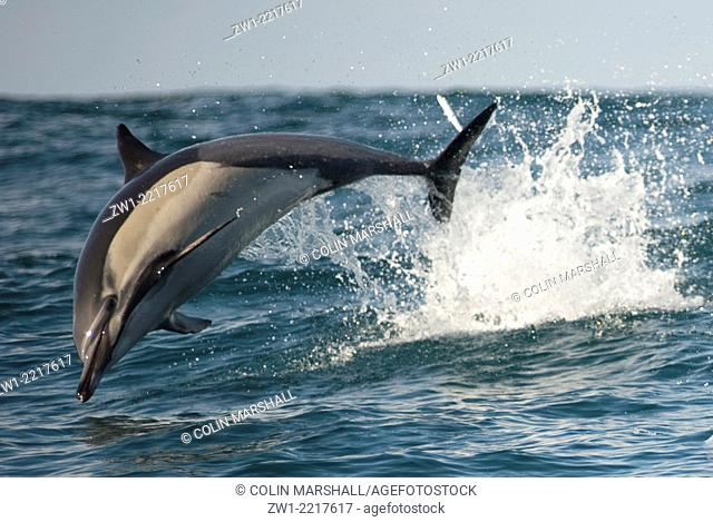 Common Dolphin (Delphinus delphis) jumping in water offshore Port St. Johns in the Eastern Cape of South Africa