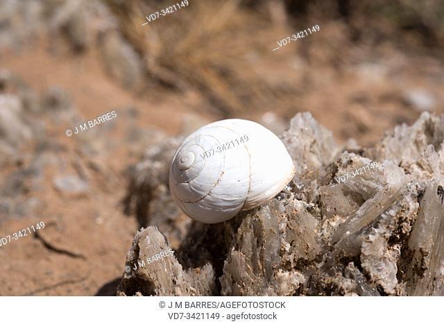 Sphincterochila candidisima or Leucochroa candidissima is a terrestrial snail native to western Mediterranean Basin. This photo was taken near Sorbas