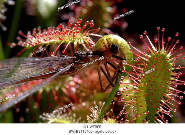 great sundew, English sundew (Drosera anglica), glandular leaves with caught insect
