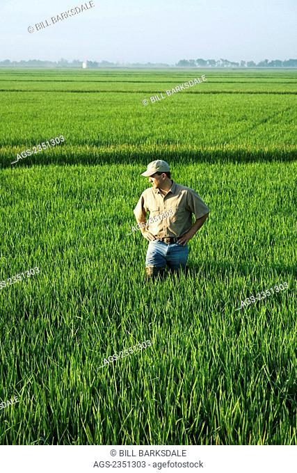 Agriculture - A farmer (grower) walks through his field inspecting his mid growth rice crop at the early head formation stage / Arkansas, USA