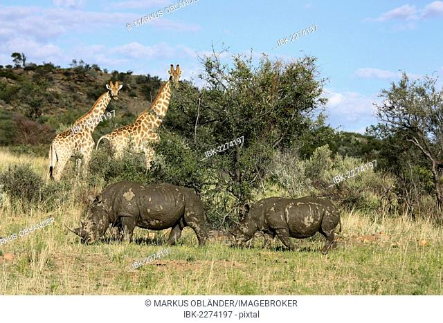 Giraffes (Giraffa camelopardalis) and White or Square-lipped Rhinoceroses (Ceratotherium simum), Namibia, Africa