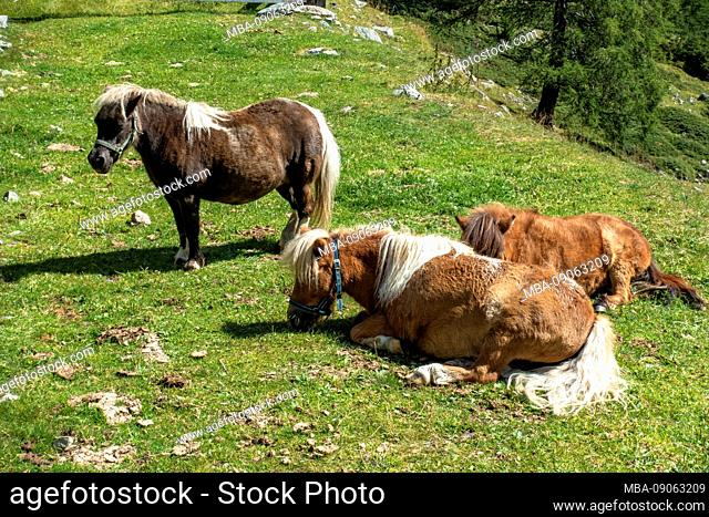 Europe, Austria, Tyrol, Ötztal Alps, Umhausen, Leierstal, ponies in the Leier Valley in the Ötztal Alps