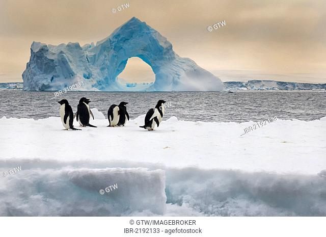 Group of Adelie penguins (Pygoscelis adeliae) on an iceberg, natural arch iceberg in the back, Paulet Island, Erebus and Terror Gulf, Antarctic Peninsula