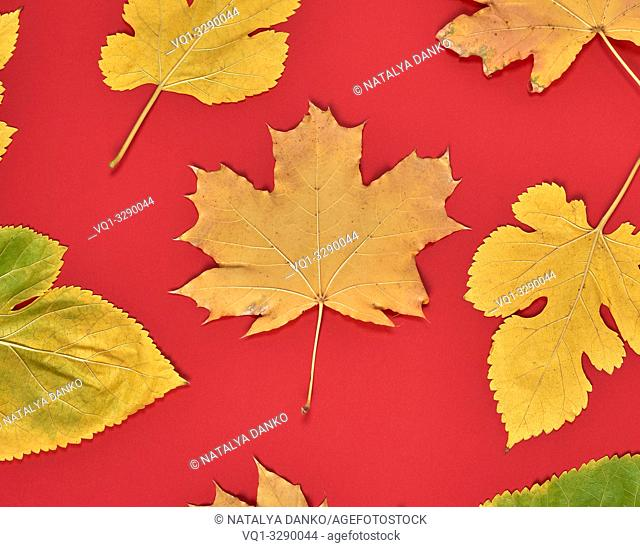 red background with dry yellow maple leaves, autumn background