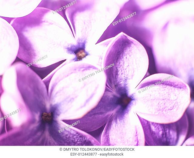 Lilac flowers, abstract floral backgrounds