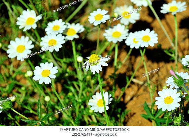 Some daisies in blossom. Alto Tajo Natural Park. Huertahernando, Guadalajara province, Spain