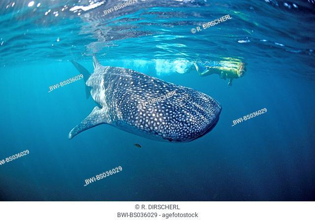 whale shark (Rhincodon typus), largest fish, with skin-diver, Djibouti, Golf von Aden