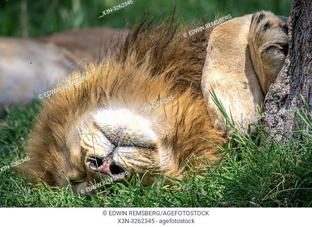 Male lion , (Panthera leo) sleeps in Maasai Mara National Park, Kenya, Africa