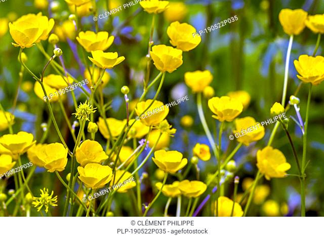 Meadow buttercup / tall buttercup / common buttercup / giant buttercup (Ranunculus acris) in flower