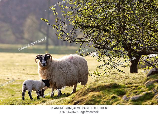 Sheep, Scotland