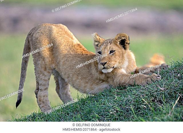 Kenya, Masai Mara Reserve, Lion cub (Panthera leo) stretching over a small hill in the savannah