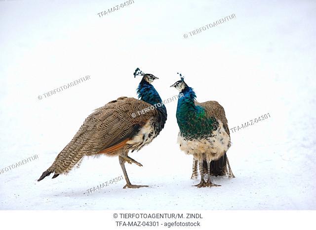 common peafowls