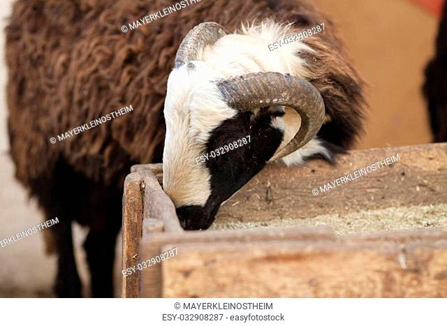 Sheep buck with eat on nature background