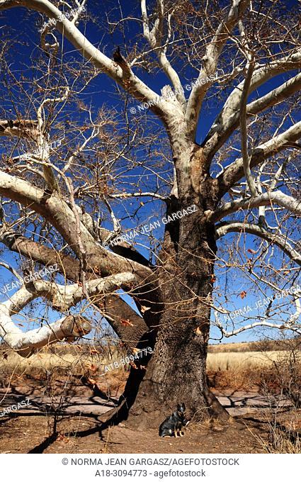 A Blue Heeler sits by a sycamore tree along Gardner Canyon Road, Sonoita, Arizona, USA