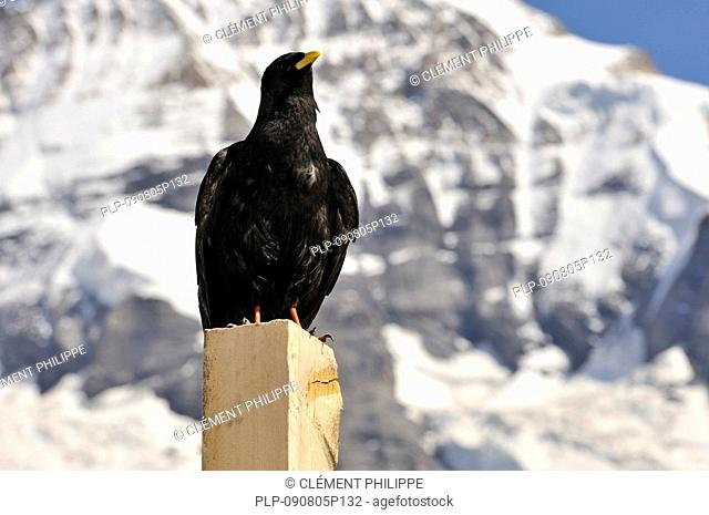 Alpine chough / Yellow-billed chough Pyrrhocorax graculus perched on post in the Suisse Alps, Switzerland